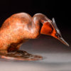 Great Crested Grebe by Nick Bibby