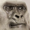 Mountain Gorilla (Silverback) by Nick Bibby